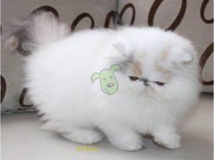 makanan kucing halal untuk anggora
